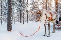 bigstock-Reindeer-in-a-winter-forest-in-206222803-250x167