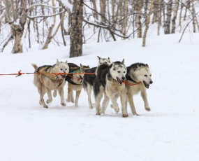 The sled dogs, Karelia