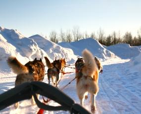 Siberian husky ride in Husky Park,